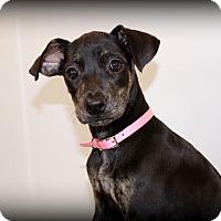 Adopt A Pet :: Ruby~meet me! - Glastonbury, CT
