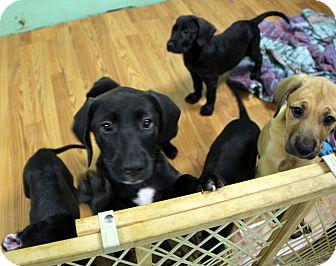 Labrador Retriever Mix Dog for adoption in north myrtle beach, South Carolina - Puppies