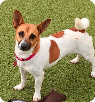 Terrier (Unknown Type, Medium)/Jack Russell Terrier Mix Dog for adoption in Whitestone, New York - Precious