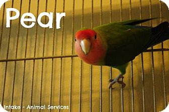 Lovebird for adoption in Hamilton, Ontario - Pear