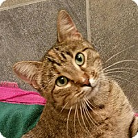 Domestic Shorthair Cat for adoption in Fairfax, Virginia - Kiki