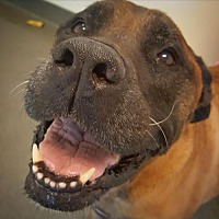Mastiff Mix Dog for adoption in Chambersburg, Pennsylvania - Ayla