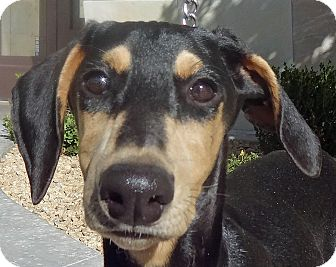 Doberman Pinscher Puppy for adoption in Las Vegas, Nevada - Emmy