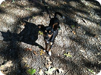 Chihuahua/Dachshund Mix Dog for adoption in Boerne, Texas - Rico