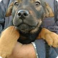 Shepherd (Unknown Type)/Rottweiler Mix Puppy for adoption in Pena Blanca, New Mexico - REESE