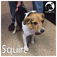 Adopt A Pet :: Squirt - Pittsburgh, PA