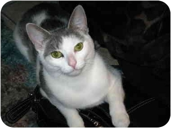 Domestic Shorthair Cat for adoption in Markham, Ontario - Radish