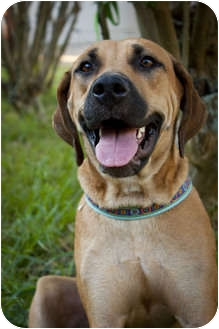 Rhodesian Ridgeback/Black Mouth Cur Mix Dog for adoption in Tampa ...