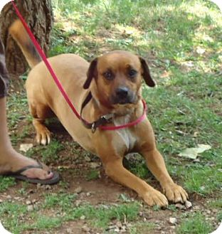 Boxer/Mountain Cur Mix Dog for adoption in Allentown, Pennsylvania - Luna 100$ reduction