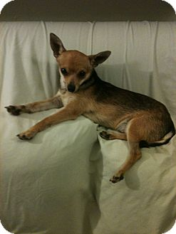 Chihuahua Mix Puppy for adoption in Anaheim, California - Dylan