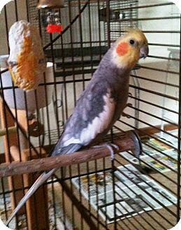 Cockatiel for adoption in Shawnee Mission, Kansas - Wally
