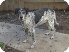 German Shorthaired Pointer/Labrador Retriever Mix Dog for adoption in Yuba City, California - Daisy