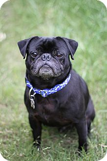 Pug Dog for adoption in Austin, Texas - Harley