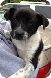 Australian Cattle Dog Mix Puppy for adoption in Richmond, Virginia - Patch