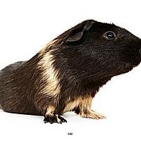 Adopt A Pet :: Sam - New York, NY
