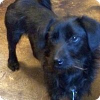 Adopt A Pet :: Chintzy - Austin, TX