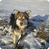 Adopt A Pet :: Sampson - Egremont, AB