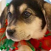 Adopt A Pet :: Brooke - Carteret/Eatontown, NJ
