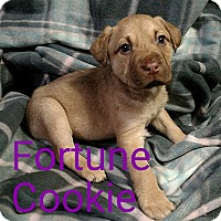 Adopt A Pet :: Fortune Cookie - Garden City, MI