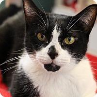 Adopt A Pet :: Sapphire - Sarasota, FL