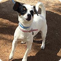 Adopt A Pet :: Lilli - Las Vegas, NV