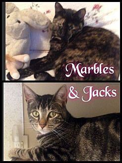 Domestic Shorthair Cat for adoption in Maumelle, Arkansas - Marbles & Jacks - Foster / 2014