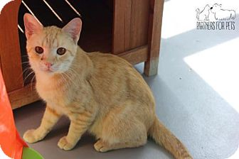 Domestic Shorthair Cat for adoption in Troy, Illinois - Howard