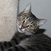 Domestic Shorthair Cat for adoption in Santa Rosa, California - Sparrow
