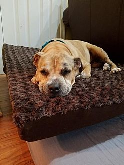 Pit Bull Terrier Mix Dog for adoption in Gilbertsville, Pennsylvania - Skylar
