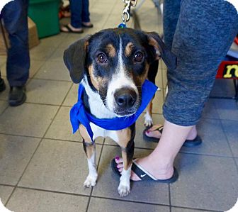 Collie/Beagle Mix Dog for adoption in Rexford, New York - Lisa Marie