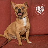 Pug/Terrier (Unknown Type, Small) Mix Dog for adoption in Inglewood, California - Corky