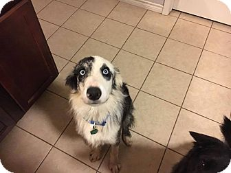 Border Collie Mix Dog for adoption in Allen, Texas - Bandit