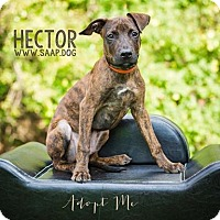 Pit Bull Terrier Mix Dog for adoption in Newport, Kentucky - Hector