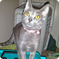 Domestic Shorthair Kitten for adoption in Arlington/Ft Worth, Texas - Stormy