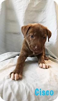 Shepherd (Unknown Type) Mix Puppy for adoption in Georgetown, South Carolina - Cisco