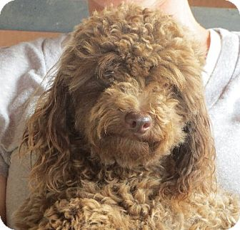 Poodle (Miniature) Dog for adoption in Greenville, Rhode Island - Harry Potter