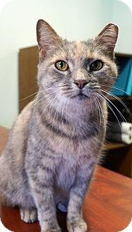 Domestic Shorthair Cat for adoption in Bethesda, Maryland - Canela