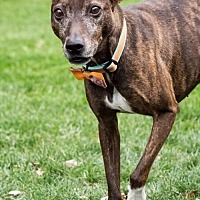 Greyhound/Feist Mix Dog for adoption in Tonawanda, New York - Erkel