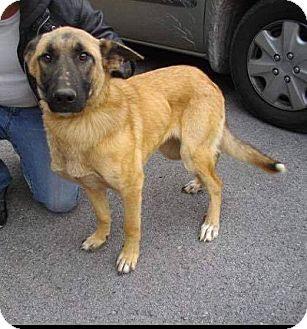 German Shepherd Dog Dog for adoption in norridge, Illinois - Beauty