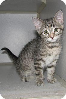 Domestic Shorthair Kitten for adoption in Ruidoso, New Mexico - Asia