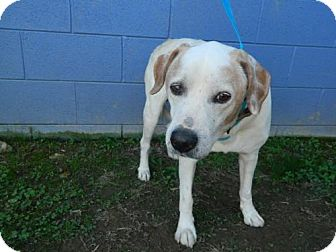 Labrador Retriever Mix Dog for adoption in Randleman, North Carolina - Bracken