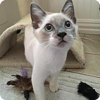 Siamese Kitten for adoption in Bulverde, Texas - Thor 2