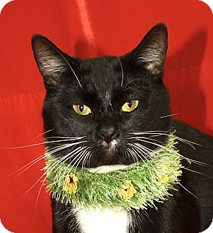 Domestic Shorthair Cat for adoption in Jackson, Michigan - Batman