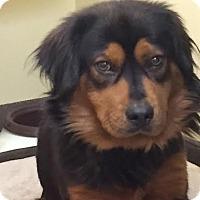 Adopt A Pet :: Dew - Potomac, MD