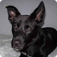 Adopt A Pet :: Koda - Westfield, NY