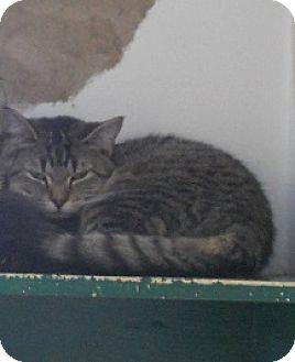 Domestic Shorthair Cat for adoption in Belleville, Michigan - Reegan