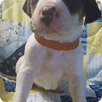 Adopt A Pet :: Ember - Boston, MA