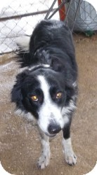 Border Collie Mix Dog for adoption in Lockhart, Texas - Lefty