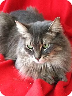 Maine Coon Cat for adoption in Whitestone, New York - Stella