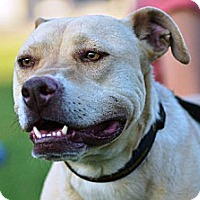 Pit Bull Terrier/Labrador Retriever Mix Dog for adoption in Monroe, North Carolina - Stewart